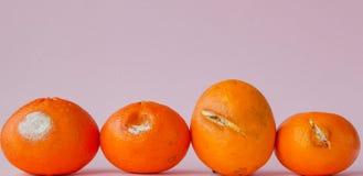 Set przegniłe pleśniowe pomarańcze, tangerines na różowym tle Fotografia narastająca foremka Karmowy kontaminowanie, zły psujący fotografia royalty free