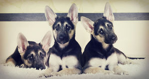 Set of puppy looking Royalty Free Stock Images