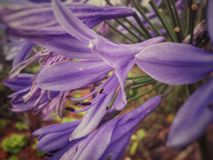Agapanthus africanus, African lily, beautiful flower with large purple petals. Agapanthus africanus, African lily or little amethyst, Agapanthoideae spp, a Royalty Free Stock Photography