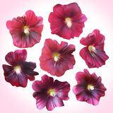 Set of Purple Mallow heads for floral design. Royalty Free Stock Images
