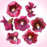 Set of Purple Mallow heads for floral design. Royalty Free Stock Photo