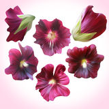 Set of Purple Mallow heads for floral design. Stock Image