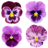 Set of purple pansy Royalty Free Stock Photo