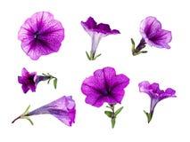 Set of purple petunia flowers stock photography