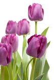 Set of Purple Tulips Royalty Free Stock Photos