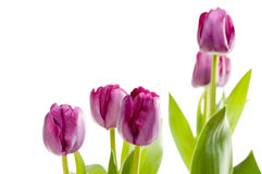 Set of Purple Tulips Royalty Free Stock Photo