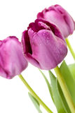Set of Purple Tulips Stock Photo
