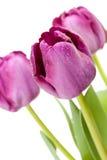Set of Purple Tulips Stock Photo