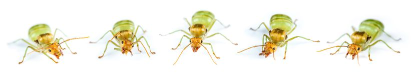 Set of Queen Red Ant Isolated royalty free stock image