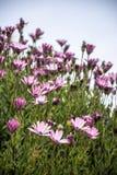 Set różowe stokrotki w świetle słonecznym zdjęcia stock