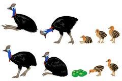 Set różne pozy dorosli i młodzi cassowarys, ilustracja ilustracja wektor