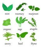 Set różni specjalni ziele które używają w kucharstwie z tytuł ilustraci mennicy realistycznymi bazylikami oregan Obrazy Stock