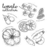 Set różny pomidor Ręka rysująca grafika royalty ilustracja