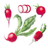 SET Radish with leaf Royalty Free Stock Photography