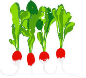 Set of radishes Stock Photos