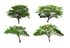 Silk tree or East Indian walnut tree or rain tree isolated on white background. Set of Rain Tree or East Indian walnut tree or silk tree isolated on white stock photo