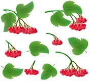 Set of realistic clusters of viburnum berries with leaves. Red berries and green leaves on a tree branch. Suitable for processing royalty free illustration