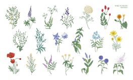 Set of realistic detailed colorful drawings of wild meadow herbs, herbaceous flowering plants, beautiful blooming Royalty Free Stock Images