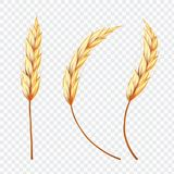 Set of Realistic Ear of Wheat or Rice on isolated background,. Set of Realistic Ear of Wheat or Rice on isolated background, illustration Stock Photography