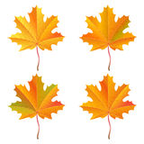 Set of realistic orange maple leaves. Autumn vector illustration Royalty Free Stock Photography