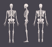 Set of realistic skeletons isolated on gray background. Anterior, lateral and posterior view. Concept of anatomy of Stock Photos