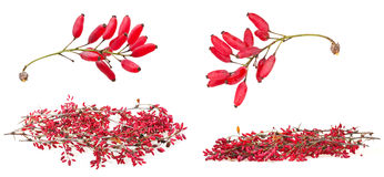 Set of red berberis shoot with ripe fruits royalty free stock photos