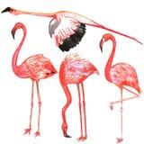 Set of birds. Flamingo. Watercolor. Set of red birds. Flamingo. Watercolor royalty free illustration