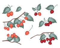 Set of Red Cherries on White Background Royalty Free Stock Image