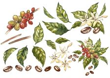 Set of Red coffee arabica beans on branch with flowers isolated, watercolor illustration. Set of Red coffee arabica beans on branch with flowers isolated stock illustration