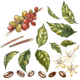 Set of Red coffee arabica beans on branch with flowers isolated, watercolor illustration. vector illustration