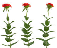 Set of red field flowers Royalty Free Stock Photos