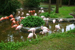 Set of red flamingo. At the farm Stock Photography