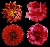 Set red flowers. Bright  flowers roses and  dahlia  on the black isolated background with clipping path.  Closeup.  no shadows. Royalty Free Stock Photography