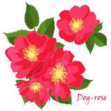 Set red flowers of dog-rose with leafs in realistic hand-drawn style. Vector illustration royalty free illustration