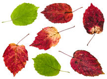 Set from red and green leaves of maple ash tree Royalty Free Stock Photos