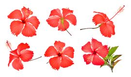 Set of red hibiscus or chaba flower isolated on white. Background Stock Images