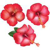 Set of red hibiscus flowers. On white Royalty Free Stock Photo