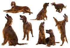 Set of Red Irish Setters Royalty Free Stock Image