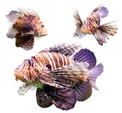 Set of  Red lionfish. Set of venomous fish (Red lionfish). Isolated over white background Royalty Free Stock Image
