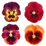 Set of red pansy Royalty Free Stock Images