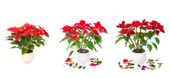 Set of red Poinsettia isolated images Royalty Free Stock Photo