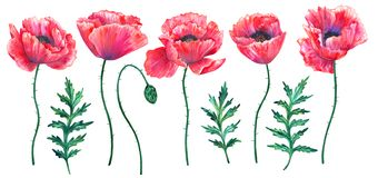 Set of red poppies with leaves. Colorful flowers. Watercolor hand drawn illustration isolated on white background. royalty free illustration