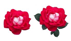 Set of red rose flower and leaves. Isolated on white Royalty Free Stock Photography