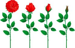 Set of red roses. Four Vector red roses from bud to full blossom Stock Images