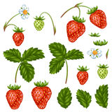 Set of red strawberries, flowers and leaves.  Stock Image