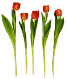 Set of red tulip flowers Stock Photo