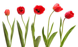 Set of red tulips isolated Stock Photos