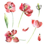 Set of red tulips. Isolated on white background. Watercolor illustration Stock Images