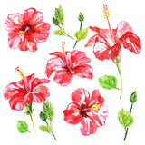 Set of red watercolor Hibiscus flower Royalty Free Stock Image