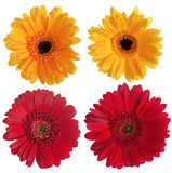 Set of red and yellow gerbera. Flowers isolated on white background Stock Images